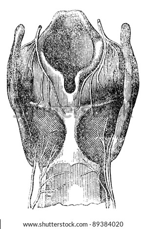 Arytenoid cartilage, vintage engraved illustration. Magasin Pittoresque 1875.