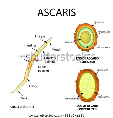 Ascaris helminthiasis. Felnőttkori aszcariasis tünetek áttekintése