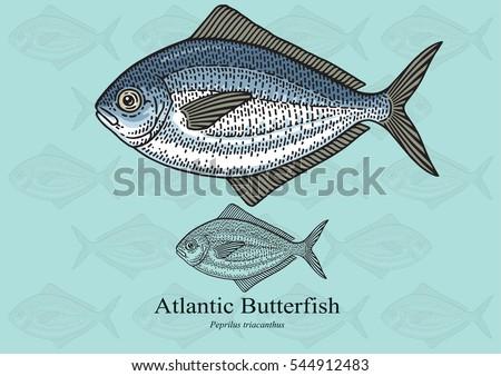 atlantic butterfish vector