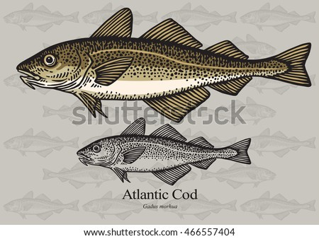 Atlantic Cod. Vector illustration with refined details and optimized stroke that allows the image to be used in small sizes (in packaging design, decoration, educational graphics, etc.)