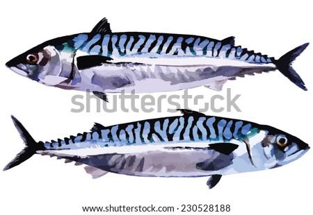 Atlantic mackerel, ocean fish isolated. Handmade watercolor painting turned into vector illustration.
