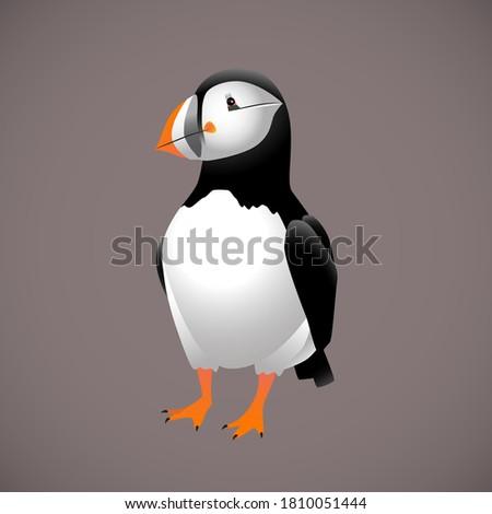atlantic puffin bird   vector
