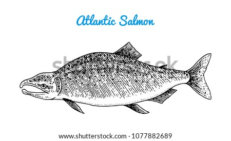 atlantic salmon spawn river