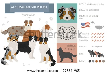 Australian shepherd dog isolated on white. Characteristic, color varieties, temperament info. Dogs infographic collection. Vector illustration Photo stock ©