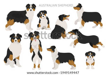Australian shepherd dogs set. Color varieties, different poses. Dogs infographic collection. Vector illustration Photo stock ©