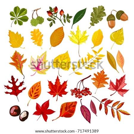 autumn oak  maple  rowan leaf