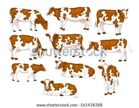 Ayrshire red and white patched coat breed cattle set. Cows front, side view, walking, lying, grazing, eating, standing