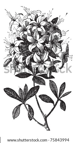 Azalea or Rhododendron sp, or azalea viscosa., vintage engraving. Old engraved illustration of an Azalea plant showing flowers. #75843994