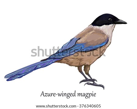 azure winged magpie vector