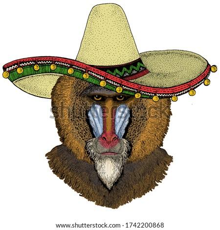 baboon  monkey  ape sombrero