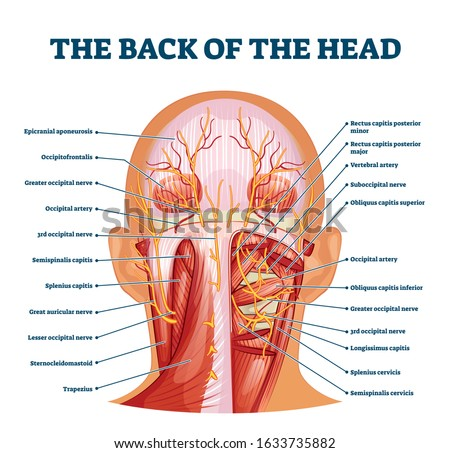 Back of the head muscle structure and nerve system diagram, vector illustration labeled medical health care scheme. Educational information for sports fitness training and chiropractor therapy. ストックフォト ©
