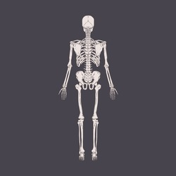 Back view of human skeleton with bones, ribs, pelvis, spine and skull. Full-length body structure x-ray. Anatomical drawing. Realistic detailed hand-drawn vector illustration of isolated xray scan