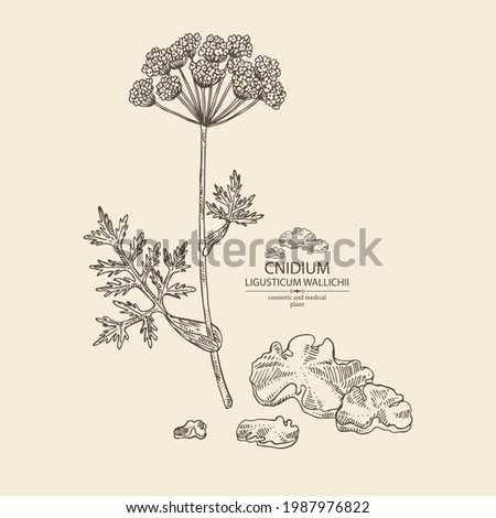 Background with cnidium: plant and cnidium tuber. Ligusticum wallichii. Cosmetic and medical plant. Vector hand drawn illustration Foto stock ©