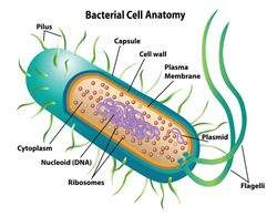 Bacterial cell anatomy labeling structures on a bacillus cell with nucleoid DNA and ribosomes. External structures include the capsule, pili, and flagellum.