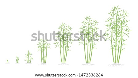 Bamboo bush growth stages. Clumping bamboos ripening period progression. Bambusa bambos tree life cycle animation plant phases. With roots. Green leaves.