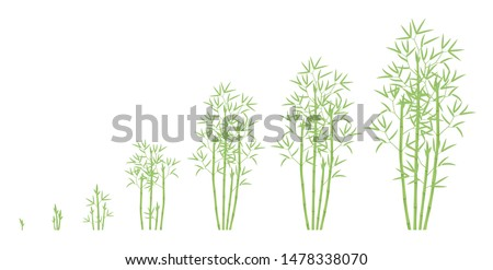 Bamboo bush growth stages. Clumping bamboos ripening period progression. Bambusa bambos tree life cycle animation plant phases. Green leaves.