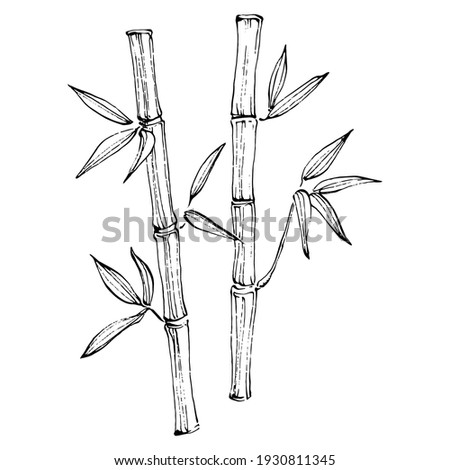 bamboo plant by hand drawing
