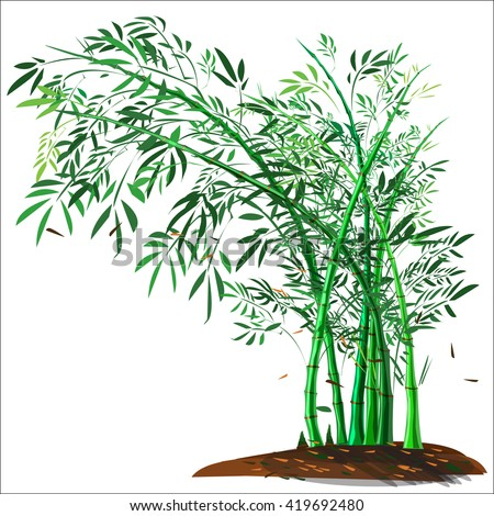 bamboo tree and bamboo shoot