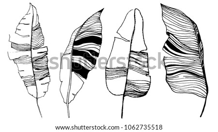 banana leaves illustration. set of vector leaves. hand drawn art. leaf skeleton.