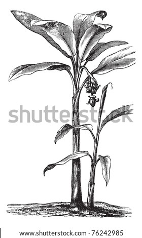 Banana or Musa sp., vintage engraving. Old engraved illustration of a Banana plant showing fruit and inflorescence.