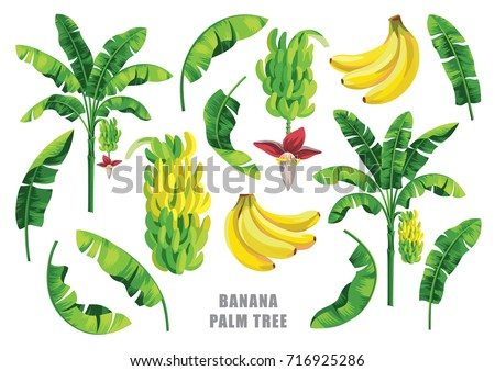 Banana palm tree collection. Vector design isolated elements on the white background.