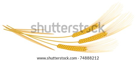 Barley spikelets on a white background. Vector illustration.
