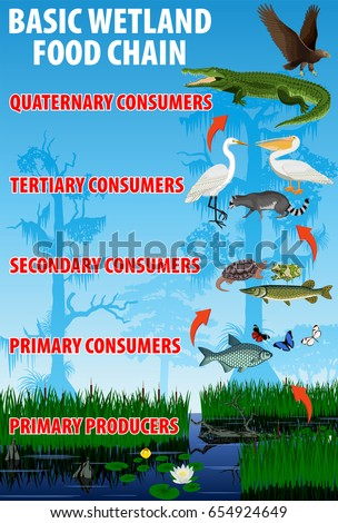 Basic wetland food trophic chain. Tropical wetland everglades ecosystem energy flow. Vector illustration.