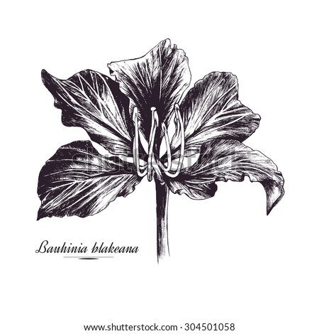Bauhinia Blakeana Flower Ink Pen Drawing Orchid Tree Vector Hand