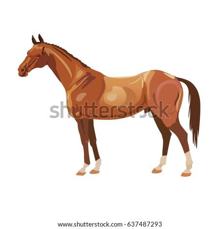bay arabian mustang stallion on