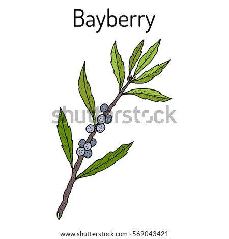 Bayberry (Myrica cerifera), or southern wax myrtle, candleberry, tallow shrub, medicinal plant. Hand drawn botanical vector illustration.