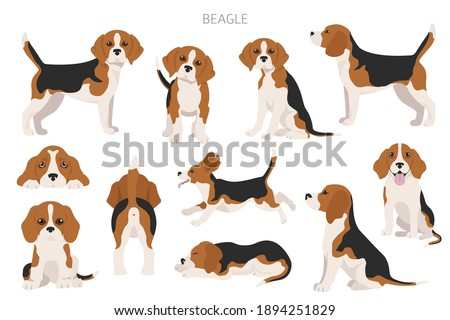 Beagle infographic. Different posescoat colors. Beagle puppy.  Vector illustration Zdjęcia stock ©
