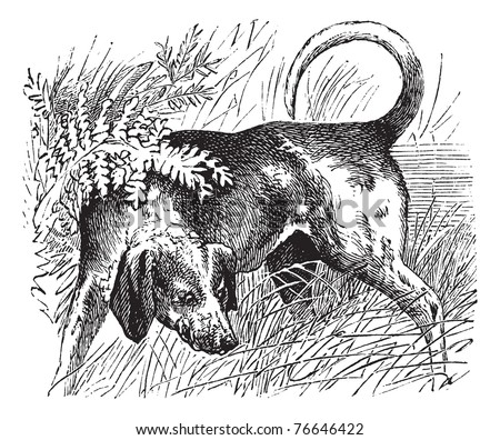 beagle or canis lupus