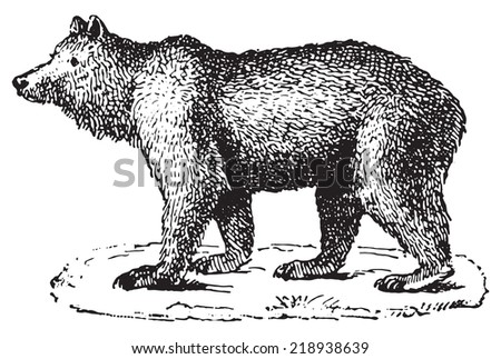 bear  vintage engraved...