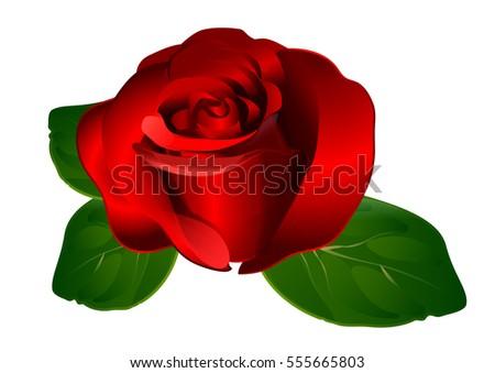 beautiful and romantic rose