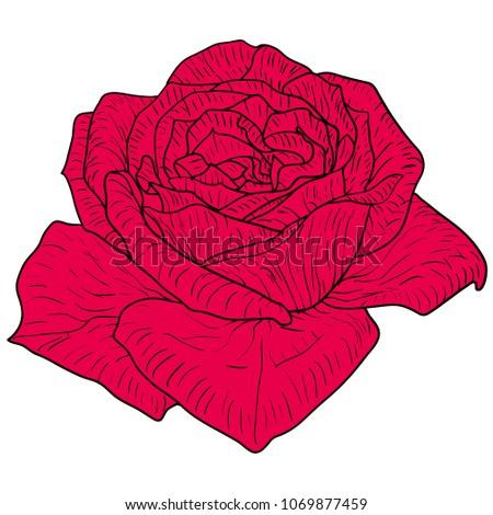 beautiful color sketch  rose