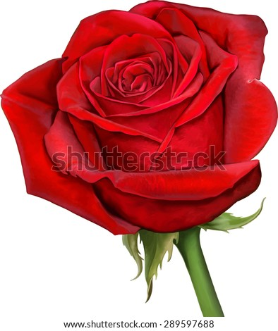 beautiful colorful red rose