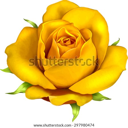 beautiful colorful rose flower