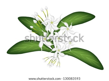 Beautiful Flower, An Illustration of Lovely White Common Gardenias or Cape Jasmine Flowers on Green Leaves Isolated on A White Background
