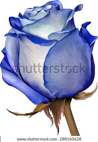 beautiful light blue rose