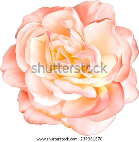 Beautiful light orange red Rose Flower isolated on white background. Vector illustration #239331370