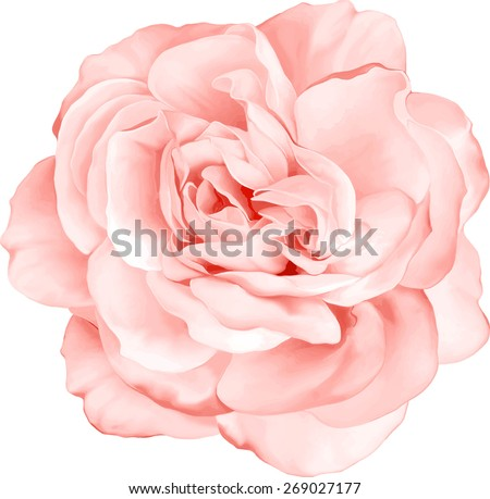 Beautiful Light red Rose Flower isolated on white background. Vector illustration