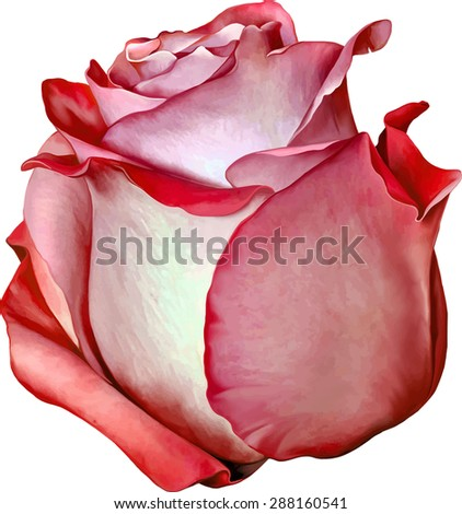beautiful light red rose flower