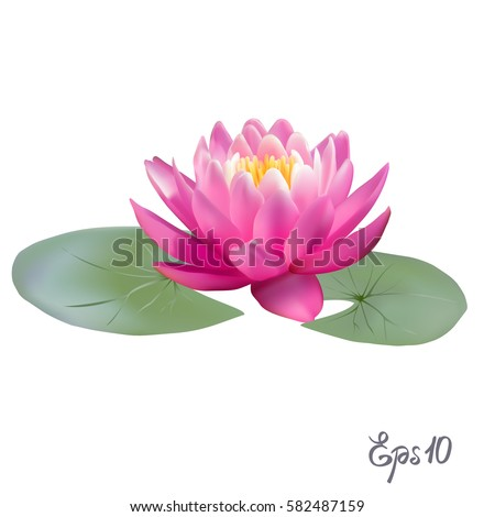 beautiful lily lotus a