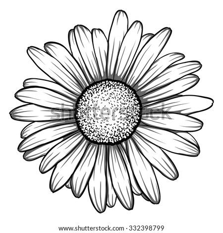 Realistic Daisy Flower Drawing