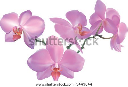 Beautiful Orchid.  Photorealistic illustration of a beautiful moth orchid. Created with meshes.
