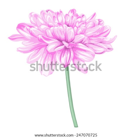 beautiful pink dahlia drawing