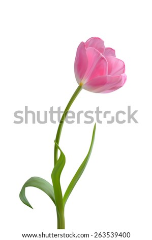 beautiful pink tulip on long