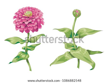 Beautiful pink zinnia flowers isolated on white background. One unblown bud on a stem with green leaves. Botanical vector Illustration