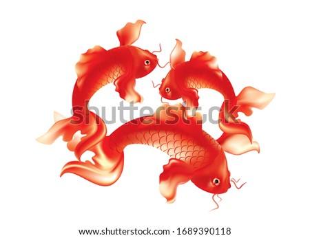 Beautiful red Koi carp on white black ground
