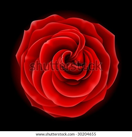Beautiful red rose, symbol of love and passion (made using gradient meshes)
